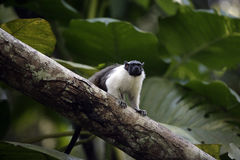 Tamarin effronté pie, bicolores bicolores de Saguinis, Photo stock