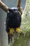 Tamarin. An exemplar of Tamarin, yellow hands Royalty Free Stock Photos