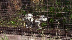 Tamarin hangt op een kooi stock footage