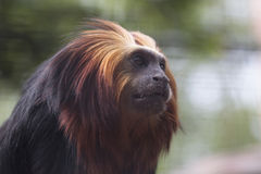 Tamarin intestato dorato del leone Fotografia Stock