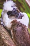 Tamarin kissing Stock Photography