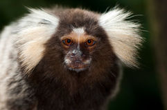 Tamarin monkey Stock Images