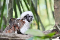 Tamarin monkey. The Cottontop Tamarin (Saguinus oedipus), also known as the Pinché Tamarin, is a small New World monkey weighing less than 1lb (0.5 kg). It is Royalty Free Stock Image