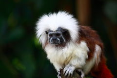Tamarin Monkey. The Cottontop Tamarin (Saguinus oedipus), also known as the Pinché Tamarin, is a small New World monkey weighing less than 1lb (0.5 kg). It is Royalty Free Stock Images