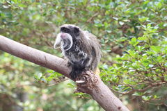 A tamarin Monkey. Climbing a tree Royalty Free Stock Photos