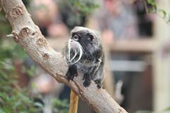 A tamarin Monkey Royalty Free Stock Images