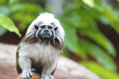 Tamarin monkey looking into camera lens Stock Images