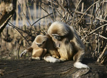 Tamarin Monkey Mother & Child Royalty Free Stock Photos