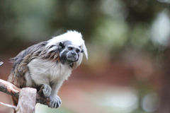 Tamarin monkey perched on a branch Royalty Free Stock Photos