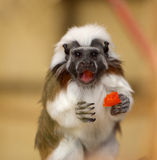 Tamarin Monkey Portrait Stock Photo