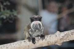 A Tamarin Monkey. Sitting on a branch Royalty Free Stock Photo