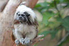 Tamarin monkey sitting on a branch Royalty Free Stock Images