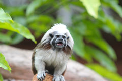 Tamarin monkey squealing on a branch Royalty Free Stock Images