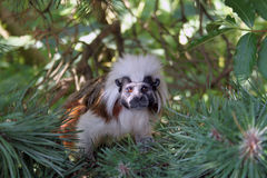 Tamarin monkey royalty free stock photo