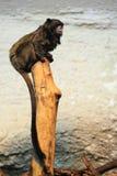 tamarin Negro-cubierto Imágenes de archivo libres de regalías