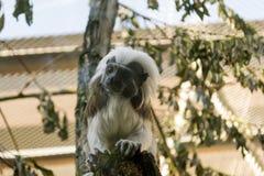 Tamarin pequeno de Oedipus do macaco da cor preto e branco imagem de stock