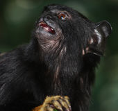Tamarin remis d'or Photo stock