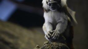 Tamarin - Saguinus Ödipus stock video footage