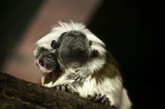 Tamarin-Schätzchen Stockbild