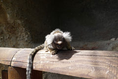 Tamarin. Small young tamarin on bench Stock Images
