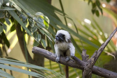 Tamarin Stock Photos
