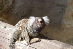Tamarin. Young tamarin ape on bench Stock Image