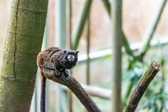 Tamarinaffe, der auf der Niederlassung, Baumhintergrund sitzt Stockfotos