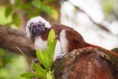 Tamarinbaumwollspitzenaffe, der in einem Baum sitzt Stockfoto