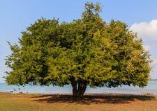 Tamarind δέντρο Στοκ Εικόνες