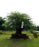 Tamarind δέντρο Στοκ εικόνα με δικαίωμα ελεύθερης χρήσης