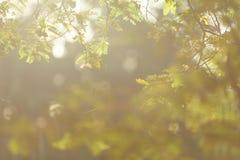 Tamarind κλάδος Στοκ εικόνες με δικαίωμα ελεύθερης χρήσης