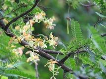 tamarind λουλούδι Στοκ Εικόνες