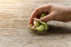 Tamarind της Μανίλα εκμετάλλευσης χεριών φρούτα Στοκ φωτογραφία με δικαίωμα ελεύθερης χρήσης