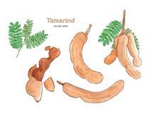 Tamarind το χέρι υδατοχρώματος σύρει το διάνυσμα σκίτσων Στοκ Φωτογραφίες