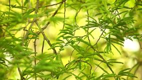 Tamarind τροπικός αειθαλής φυλλώματος δέντρων φιλμ μικρού μήκους