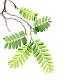 Tamarind Branch Stock Images