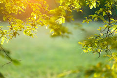 Tamarind branch. Sunlight shining to tamarind branch in the morning Royalty Free Stock Image