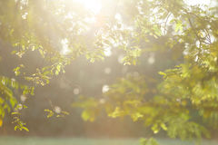 Tamarind branch. Sunlight shining to tamarind branch in the morning Stock Images