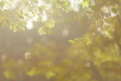Tamarind branch. Sunlight shining to tamarind branch in the morning Royalty Free Stock Images