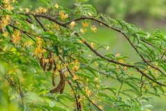Tamarind branches with its flowers and young fruits stock images