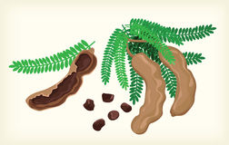 Tamarind  and cliparts Royalty Free Stock Images