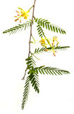 Tamarind flower and leaves Stock Images