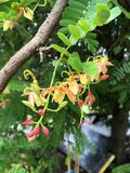 Tamarind flower. In vegetable garden Royalty Free Stock Image