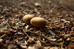 Tamarind fruit. A fallen tamarind fruit on the ground Royalty Free Stock Images
