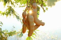 Tamarind fruit Royalty Free Stock Photography