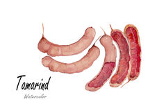 Tamarind.Hand drawn watercolor painting on white background.Vector illustration Royalty Free Stock Photo