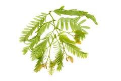 Tamarind leaf Stock Image