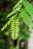 Tamarind leaf close up. In the garden Stock Photography
