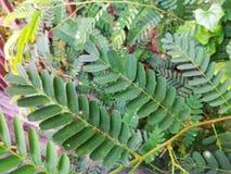 Tamarind Leaf. Close up shot of Tamarind leaves Stock Image