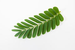 Tamarind leaf Royalty Free Stock Images